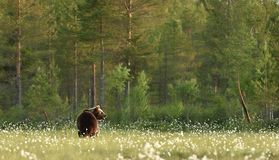 Ours de Brown dans le paysage de forêt Photos libres de droits