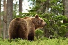 Ours de Brown dans le paysage de forêt Image libre de droits