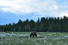 Ours de Brown dans le paysage de taiga photo stock
