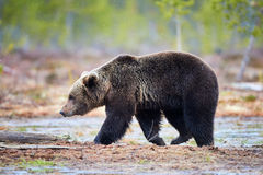 Ours de Brown dans le taiga photographie stock