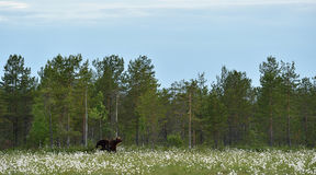 Ours de Brown dans un paysage Photographie stock libre de droits