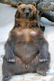 Ours de Brown dans une pose drôle Photos libres de droits