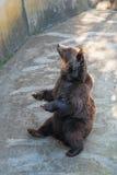 Ours de Brown droit photographie stock