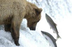 Ours de Brown essayant d'attraper des saumons photo libre de droits