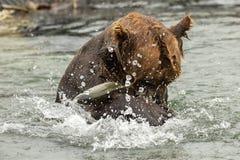 Ours de Brown essayant de pêcher un poisson sur le lac Kurile Image stock