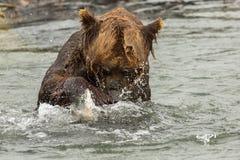 Ours de Brown essayant de pêcher un poisson sur le lac Kurile Images libres de droits