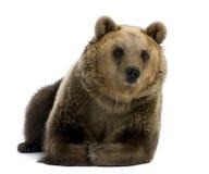 Ours de Brown femelle, 8 années, se couchant images stock