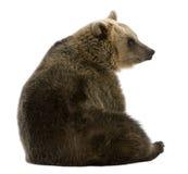 Ours de Brown femelle, 8 années, se reposant Images libres de droits