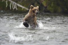 Ours de Brown fonctionnant dans le fleuve de ruisseau Photographie stock