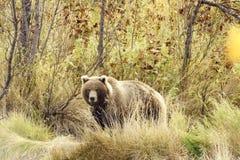 Ours de Brown (jeniseensis d'arctos d'Ursus) Photo libre de droits
