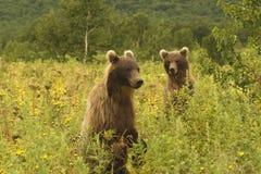 Ours de Brown (jeniseensis d'arctos d'Ursus) Image libre de droits