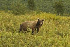 Ours de Brown (jeniseensis d'arctos d'Ursus) Photographie stock libre de droits