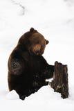 Ours de Brown jouant avec du bois dans la neige Images stock