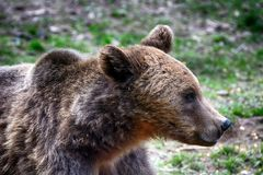 Ours de Brown, la Transylvanie, Roumanie Photo stock