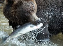 Ours de Brown, le Kamtchatka Photo libre de droits