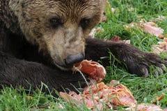 Ours de Brown mangeant de la viande Image libre de droits