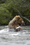Ours de Brown mangeant des saumons Image stock