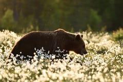 Ours de Brown marchant dans l'herbe de coton Photos stock