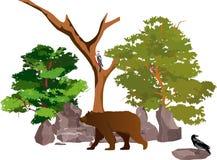 Ours de Brown marchant dans la forêt Photos libres de droits