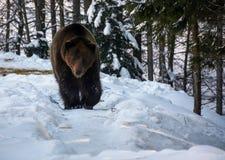 Ours de Brown marchant dans la forêt d'hiver photos stock