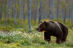 Ours de Brown marchant dans la forêt, lumière de matin Animal dangereux dans le taiga de nature et l'habitat de pré Scène de faun photos stock