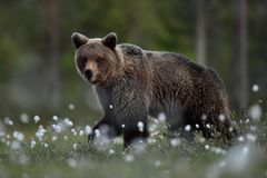 Ours de Brown marchant la nuit i photos libres de droits