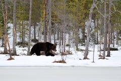 Ours de Brown marchant sur la neige Image stock