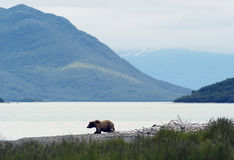 Ours de Brown marchant sur le rivage du lac Naknek Images stock