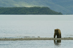 Ours de Brown marchant sur le rivage du lac Naknek Image libre de droits