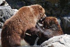 Ours de Brown mordant à un autre ours de Brown Image libre de droits