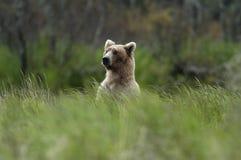 Ours de Brown restant au-dessus de l'herbe Photographie stock
