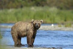 Ours de Brown restant dans le fleuve de ruisseaux Photos stock