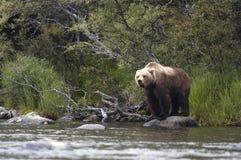 Ours de Brown restant sur la roche Images stock