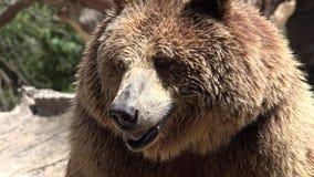 Ours de Brown sauvage dans la région sauvage banque de vidéos
