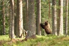Ours de Brown se tenant contre un arbre Photo stock
