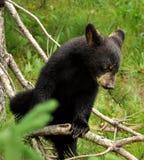 Ours de chéri vers le haut d'un arbre image stock