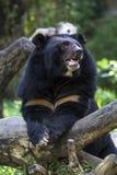 Ours de cheval photographie stock libre de droits