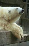 Ours de glace Images libres de droits