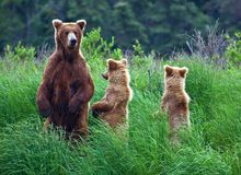 Ours de Grizly chez l'Alaska Photographie stock