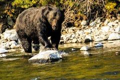Ours de Grizzley forageant pour la nourriture photo libre de droits