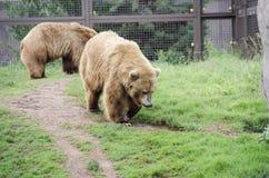 Ours de Grizzley forageant pour la nourriture Photographie stock libre de droits
