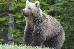 Ours de Grizzley forageant pour la nourriture Photos libres de droits
