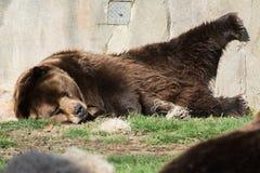 Ours de Grizzley forageant pour la nourriture Image libre de droits