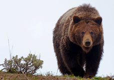 Ours de Grizzley forageant pour la nourriture Photo libre de droits