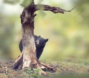 Ours de jeunes derrière de l'arbre photo libre de droits