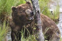 Ours de Katmai Brown ; Automnes de ruisseaux ; L'Alaska ; LES Etats-Unis Images stock
