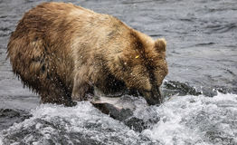 Ours de Katmai Brown ; Automnes de ruisseaux ; L'Alaska ; LES Etats-Unis Photo stock