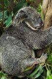 Ours de koala Photo libre de droits