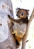 Ours de koala Image libre de droits
