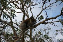Ours de koala photo stock